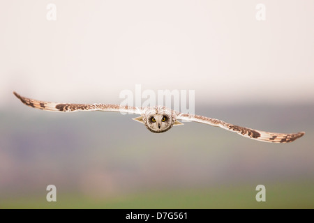 A short-eared owl (Asio flammeus) in flight, hunting over farmland - Stock Photo