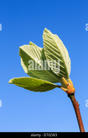 Green leaves on new shoots against a blue sky in spring - Stock Photo