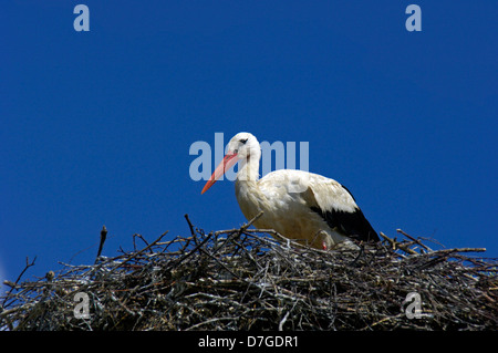 Germany, Mecklenburg-West Pomerania, island Rügen, stork, nest - Stock Photo