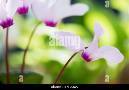 Cyclamen persicum var. persicum f. puniceum 'Tilebarn Karpathos' flower - Stock Photo