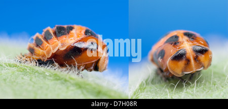 Harlequin Ladybird pupa Harmonia axyridis - Stock Photo