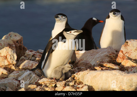 Gentoo Penguin, (Pygoscelis papua) and Chinstrap Penguin, (Pygoscelis antarctica) colony, Booth Island, Antarctica. - Stock Photo