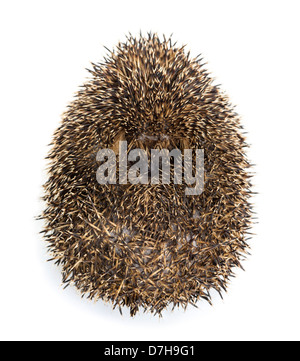 Hedgehog curled up against white background - Stock Photo