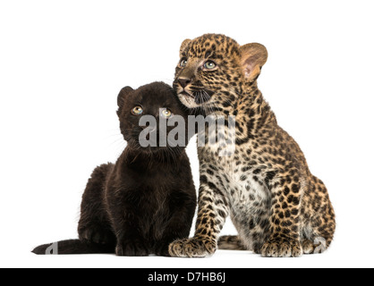 Black and Spotted Leopard cubs sitting next to each other against white background - Stock Photo