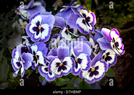 Pansy blue flowers during spring - Stock Photo