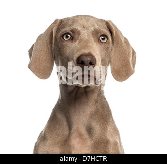 Close-up of a Weimaraner puppy, 2.5 months old, against white background - Stock Photo