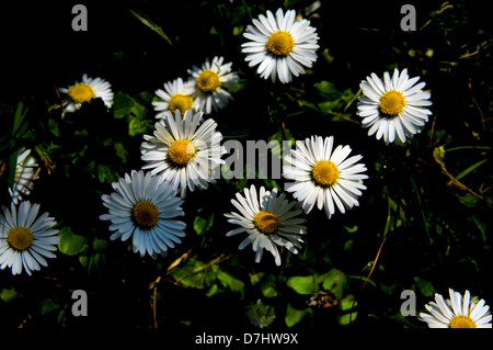 Common Garden Lawn Daisy scientific name Bellis perennis Photograph taken by Simon Dack - Stock Photo