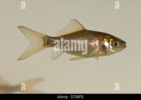 A young goldfish, Carassius auratus auratus, brown & silver colour but lacking the gold or orange of adult fish - Stock Photo
