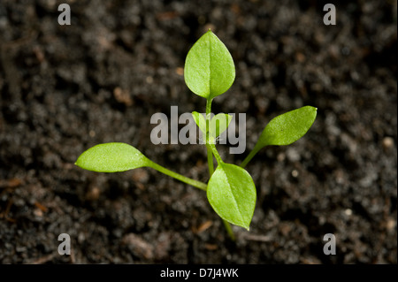 Seedling cotyledons and first true leaves forming of chickweed, Stellaria media, an annual agricultural and garden - Stock Photo