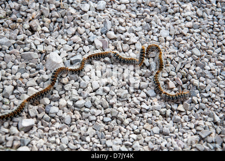 Thaumetopoea pityocampa, the pine processional caterpillar, in procession on gravel. - Stock Photo