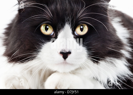 close up intense portrait of fluffly tuxedo cat staring directly and intently  to camera - Stock Photo