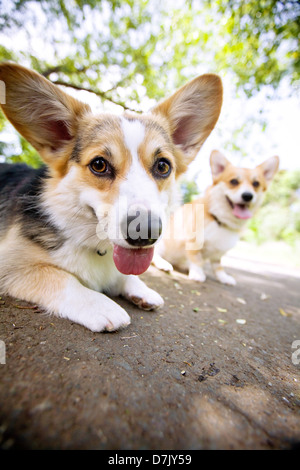 Two welsh corgis outdoors looking to camera - Stock Photo