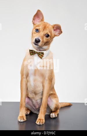 Basenji mix chihuahua sitting mournfully with bow tie with one ear down - Stock Photo