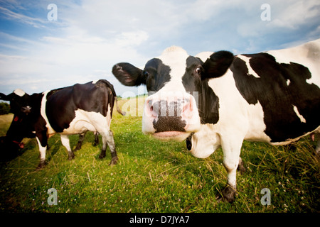 Cows in pasture one staring to camera in comical fashion - Stock Photo