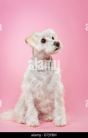 Maltese dog with silver necklace looking up against pink studio background. - Stock Photo
