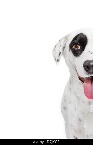 Closeup of dalmatian dog looking to camera with large black spot over eye. - Stock Photo