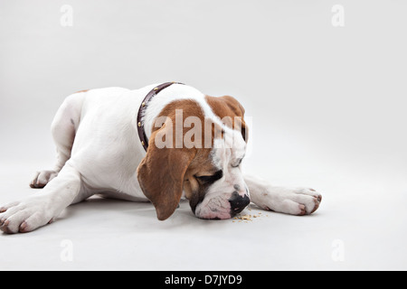 Portrait of St Bernard puppy in studio - Stock Photo