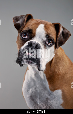 Portrait of brown and white boxer dog facing to camera in studio - Stock Photo
