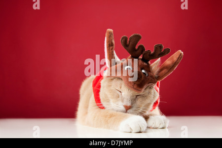 Light colored sleeping cat wearing reindeer costume against red background - Stock Photo