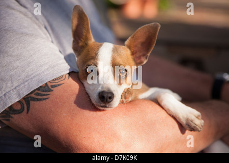 Cute Jack Russell Terrier Look On As Master Holds Her in His Lap. - Stock Photo
