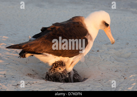 Laysan Albatross (Phoebastria immutabilis) parent brooding young chick in sand nest, evening, Midway Atoll - Stock Photo