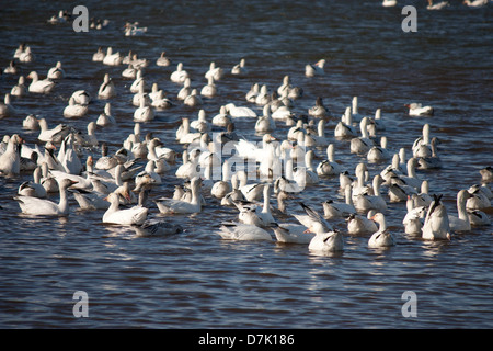 A closeup view of a flock of snow geese - Chen caerulescens - Stock Photo