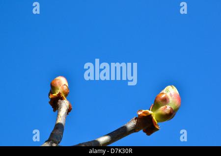 Sweet chestnut buds at blue sky. Springtime sign. - Stock Photo