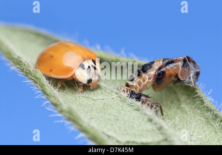 Newly emerged Imago (adult form) of Harlequin Ladybird Harmonia axyridis with pupal case - Stock Photo