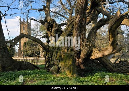 Tortworth Chestnut Tree and St. Leonard's Church - Stock Photo