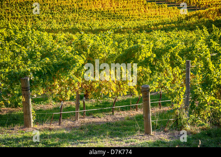 Autumn brings a golden touch to the vineyards in South Australia - Stock Photo