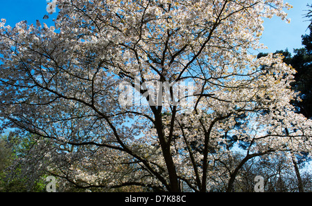 Prunus Sargentii. Sargents cherry tree blossom at RHS Wisley Gardens, Surrey, England - Stock Photo