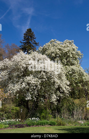 Pyrus Pashia. Wild Himalayan pear tree in blossom at RHS Wisley Gardens, Surrey, England - Stock Photo