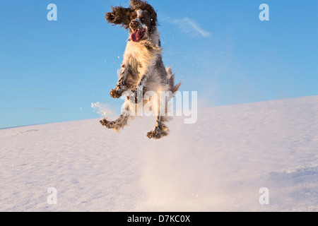 Germany, Bavaria, English Springer Spaniel playing in snow - Stock Photo