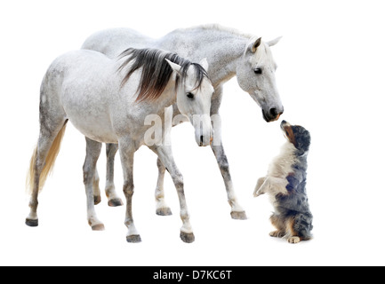 two camargues horses and australian sheepdog in front of white background - Stock Photo