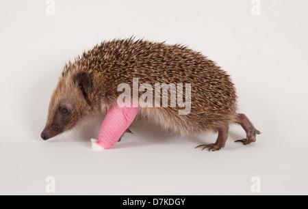 European Hedgehog with bandage on broken leg - Stock Photo