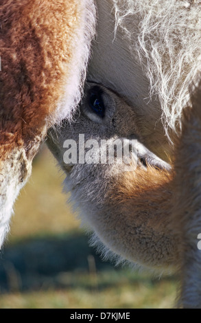 Guanaco (Lama guanicoe) calf suckling at mother, female, Chile. - Stock Photo