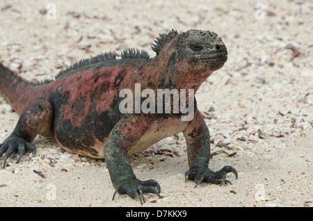 Ecuador, Galapagos, Espanola, Punta Suarez. Marine iguana (Wild: Amblyrhynchus cristatus venustissimus) on sandy - Stock Photo