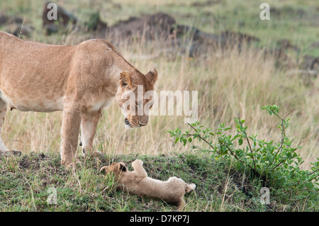 Lioness, Panthera leo, looks with dismay at her falling cub, Masai Mara National Reserve, Kenya, East Africa - Stock Photo