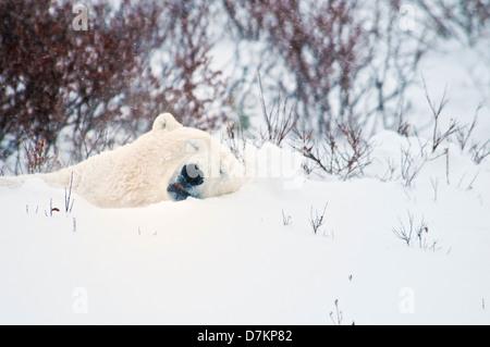 Polar Bear sleeping in the snow, Ursus maritimus, Wapusk National Park, near Hudson Bay, Cape Churchill, Manitoba, - Stock Photo