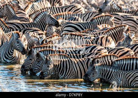 Herd or dazzle of Burchell's Zebras, Equus burchellii, drinking at the Okaukuejo waterhole, Etosha, Namibia, Africa - Stock Photo