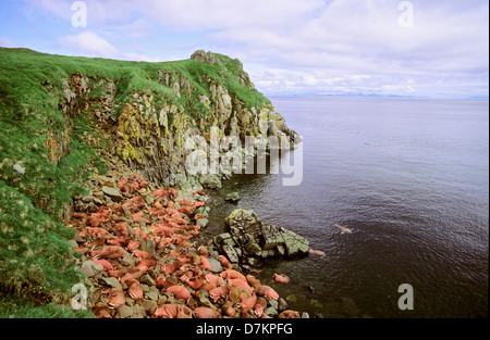 Pacific Walrus (Odobenus rosmarus divergens). Round Island, Alaska, USA, North America. Group of males resting on - Stock Photo