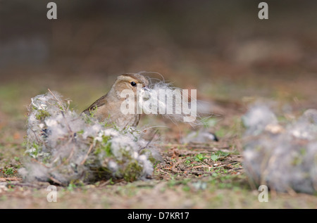 Female Chaffinch, Fringilla coelebs gathers nest material. Spring. Uk - Stock Photo