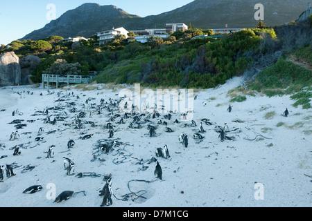 African penguin colony, Spheniscus demersus, Boulders Beach, Cape Peninsula, South Africa - Stock Photo