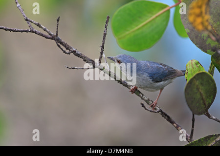 Bicoloured Conebill (Conirostrum bicolor) - Stock Photo