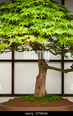 Portrait image of a Japanese Maple Bonsai tree. - Stock Photo