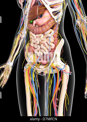 Female anatomy, artwork - Stock Photo