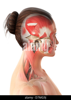 Female head and neck muscles, artwork - Stock Photo