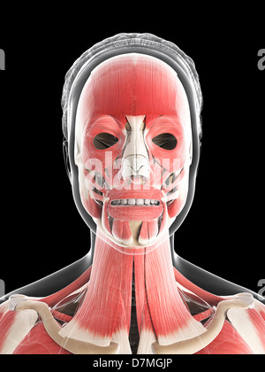 Female musculature, artwork - Stock Photo