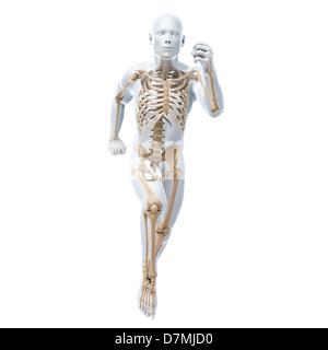 Male skeleton, artwork - Stock Photo