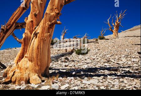 USA, California, White Mountains. Ancient bristlecone pines on mountain slope. - Stock Photo